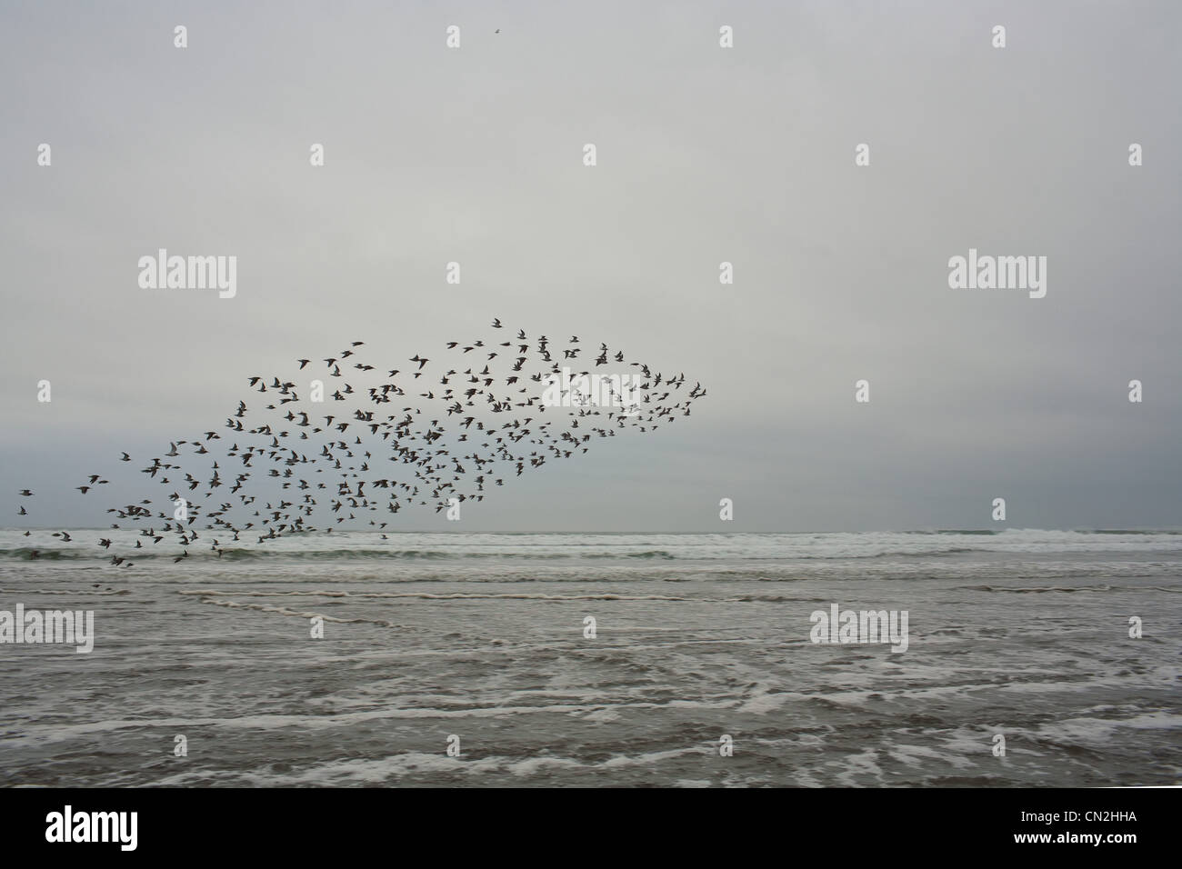 Flock of birds flying over water - Stock Image
