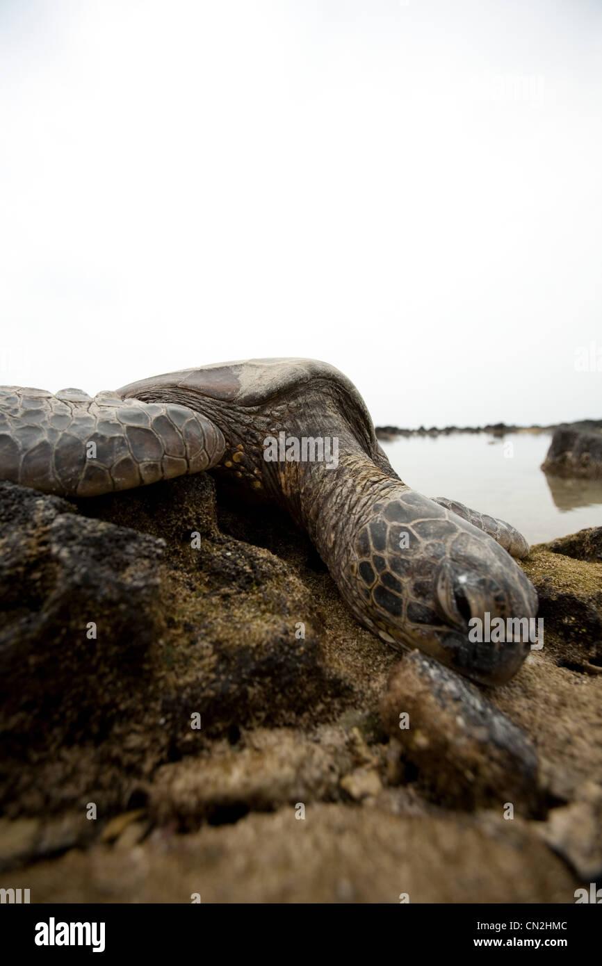 Sea turtle on rocks - Stock Image