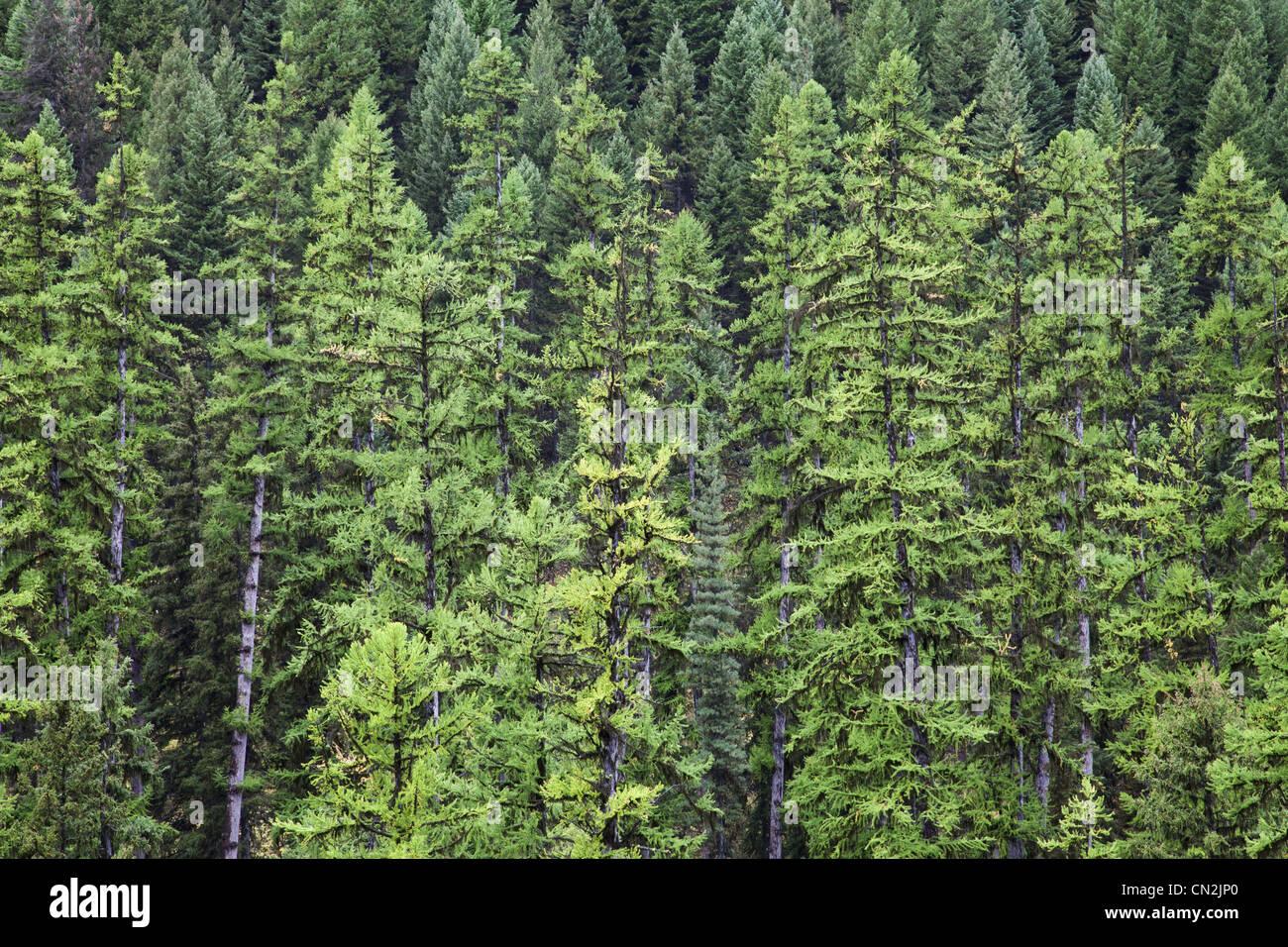 Tamarack Trees Changing Color Amongst Evergreens, Montana, USA Stock ...