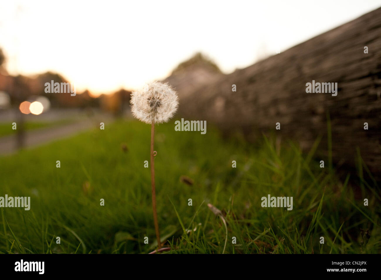 Dandelion clock, close up Stock Photo
