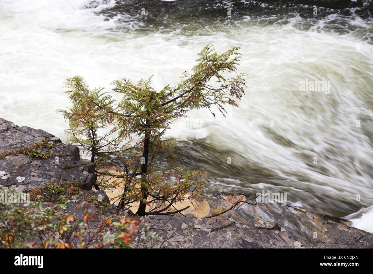 Small Tree Next to River Rapids, Montana, USA - Stock Image