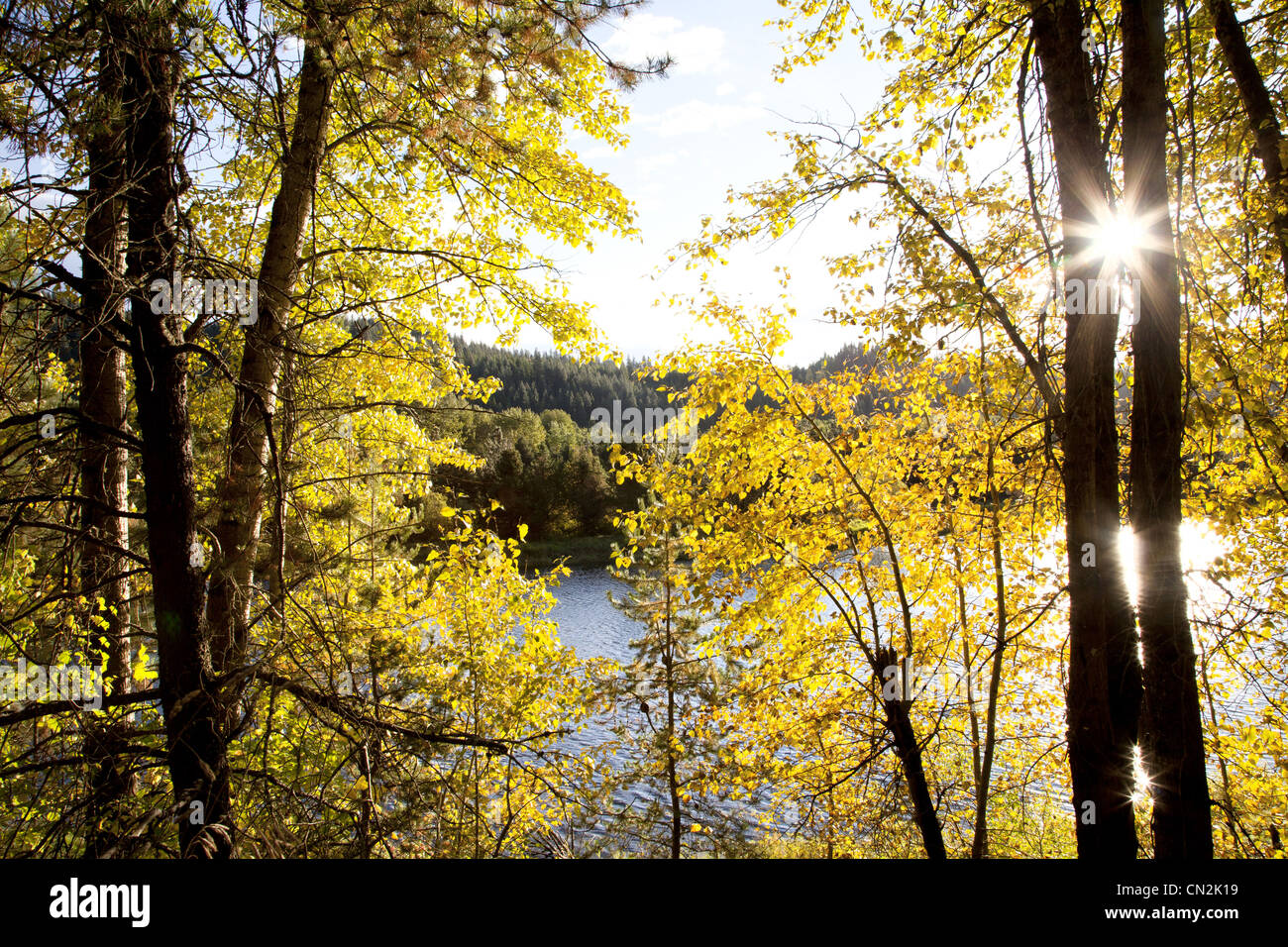 Yellow Autumn Leaves in Forest With Lake in Background, Idaho, USA - Stock Image