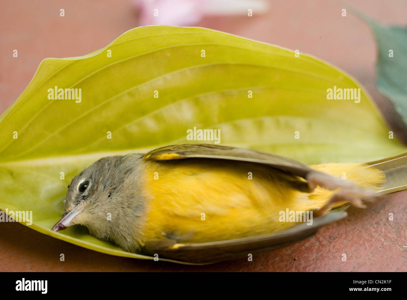 Dead bird in leaf - Stock Image