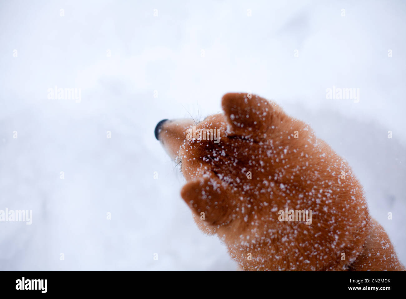 Shiba inu dog in snow, close up of head - Stock Image