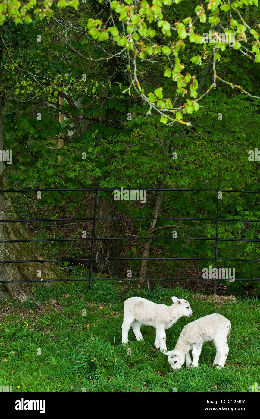 Two lambs in field - Stock Image
