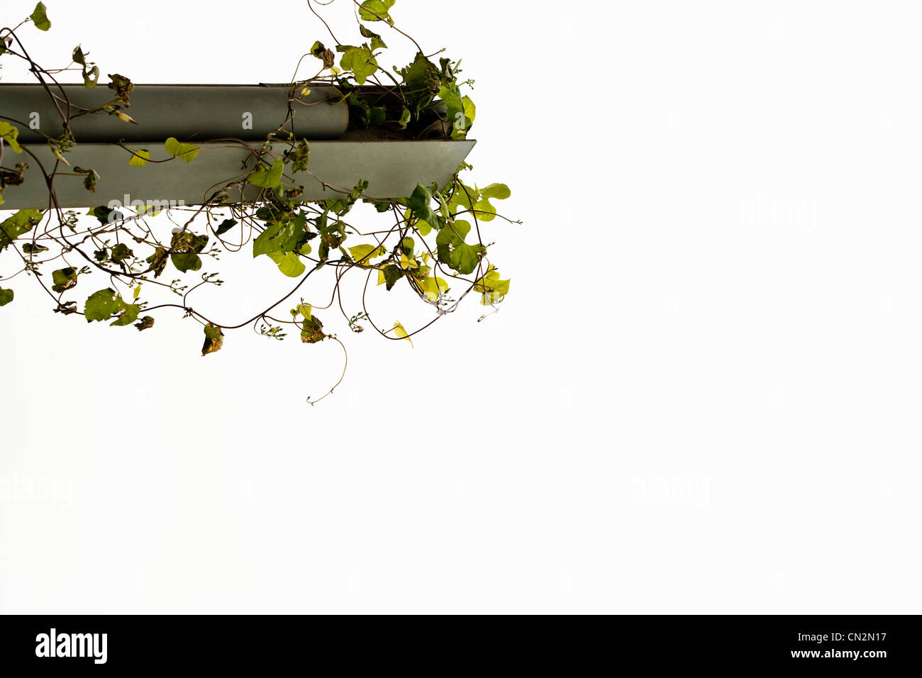 Foliage growing on structure - Stock Image