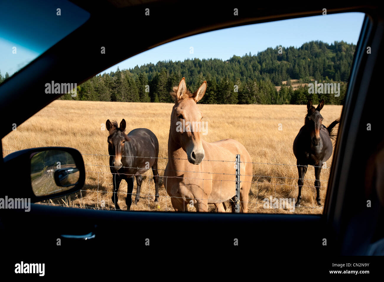 Horses seen through car window - Stock Image