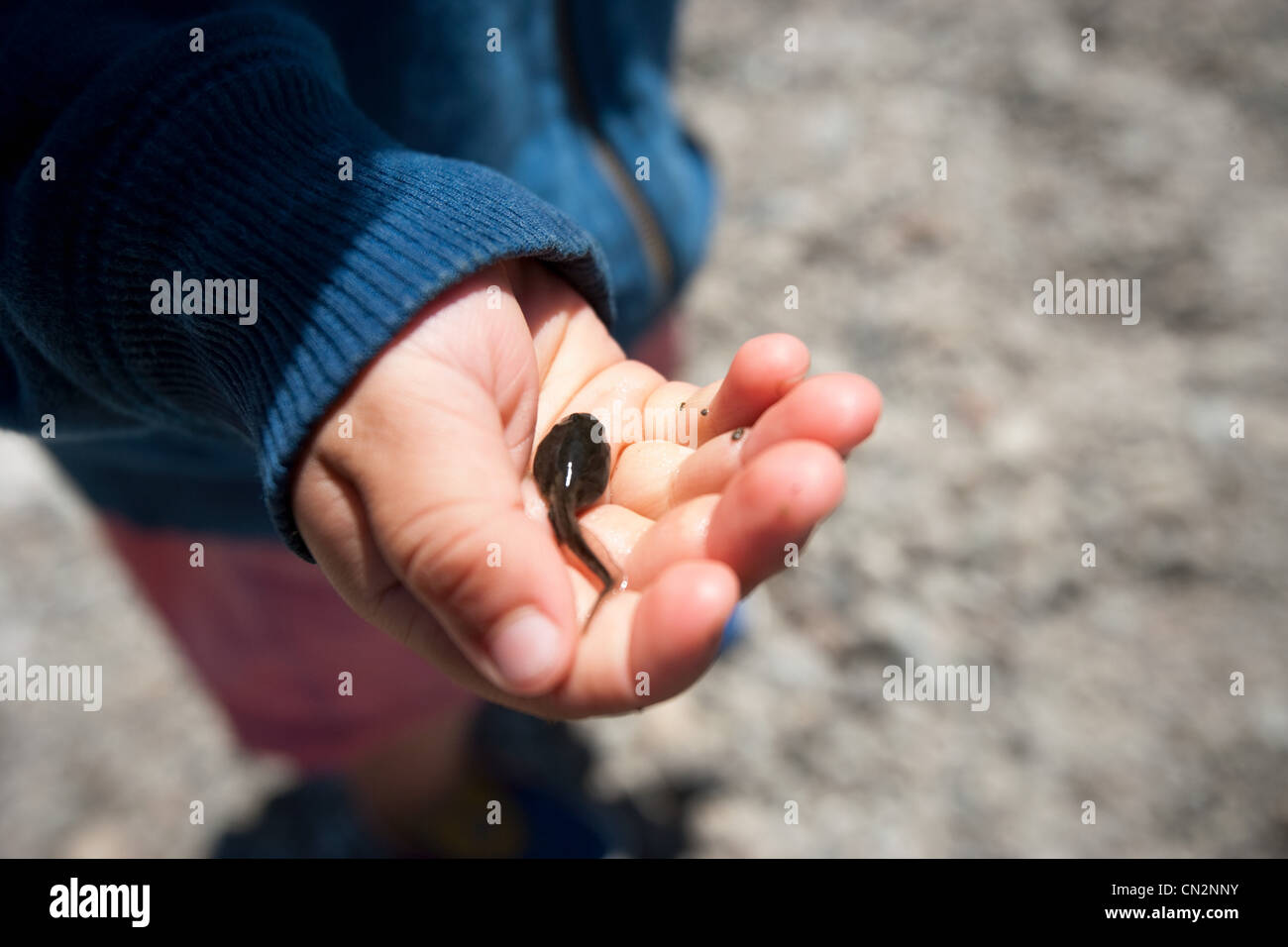 Toddler boy holding tadpole in palm of hand - Stock Image