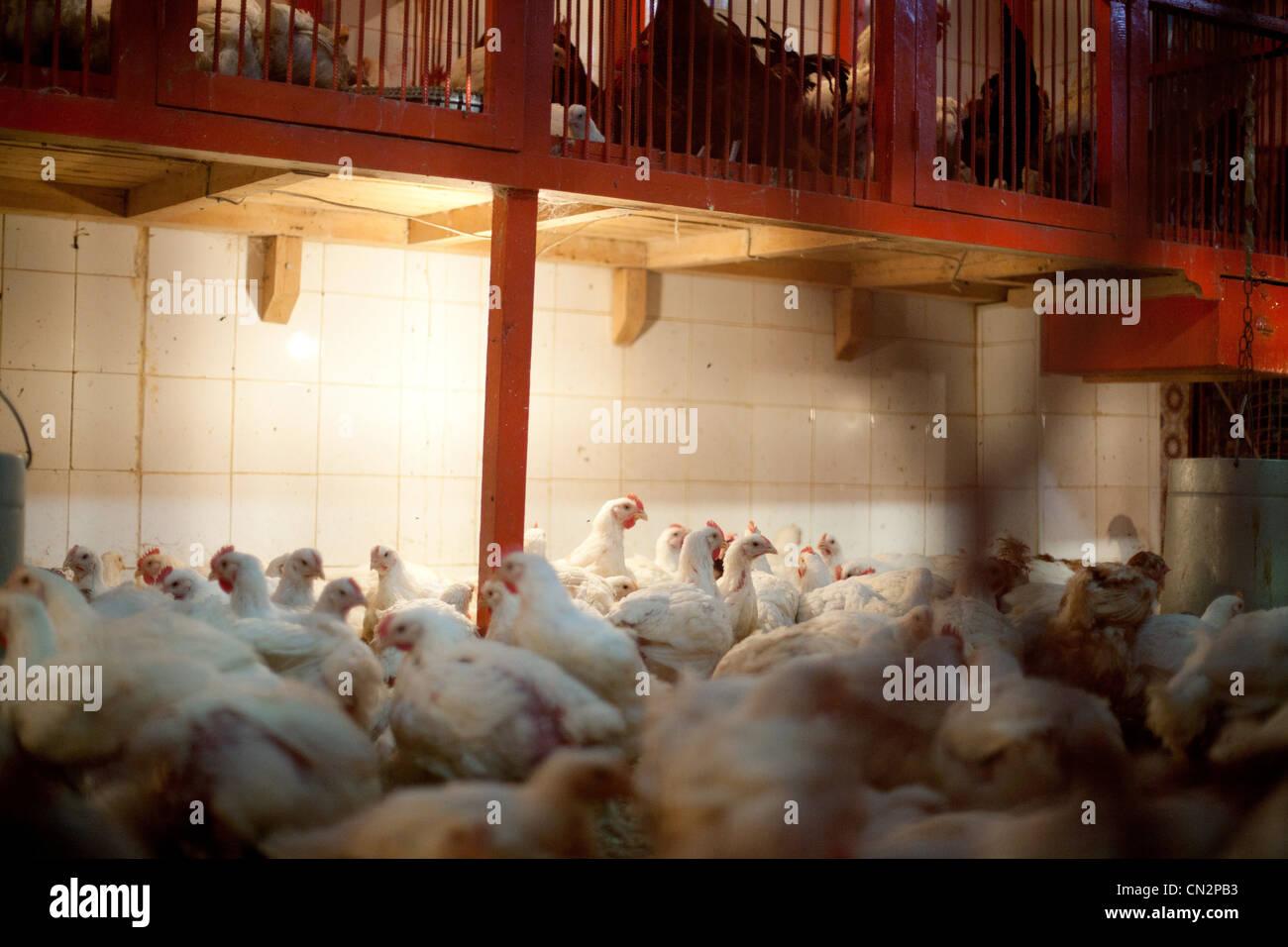 Battery hens - Stock Image