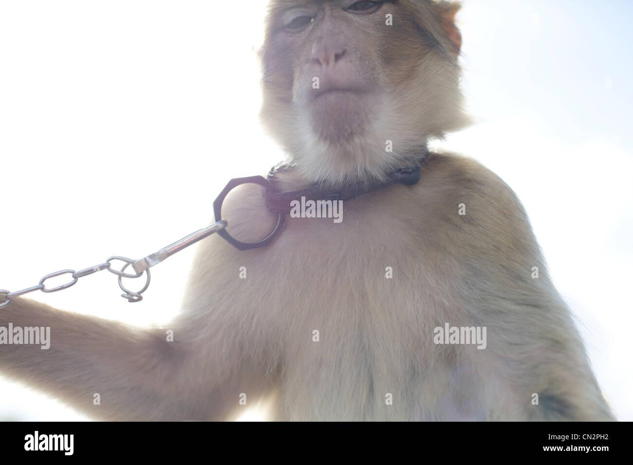 Monkey wearing pet collar - Stock Image