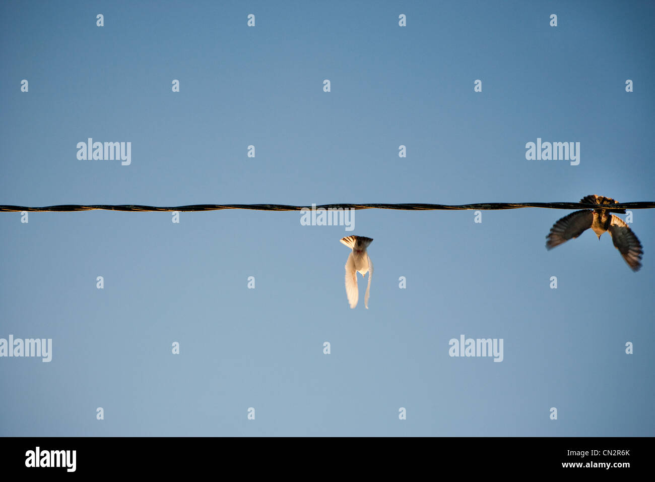 Birds flying from power line - Stock Image