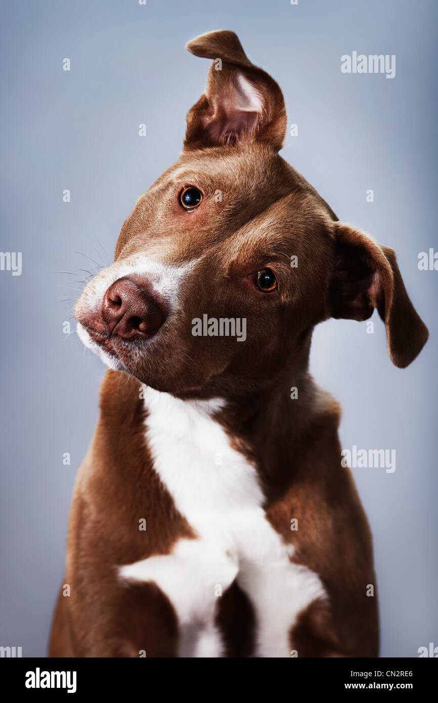 Portrait of a pit bull mix - Stock Image