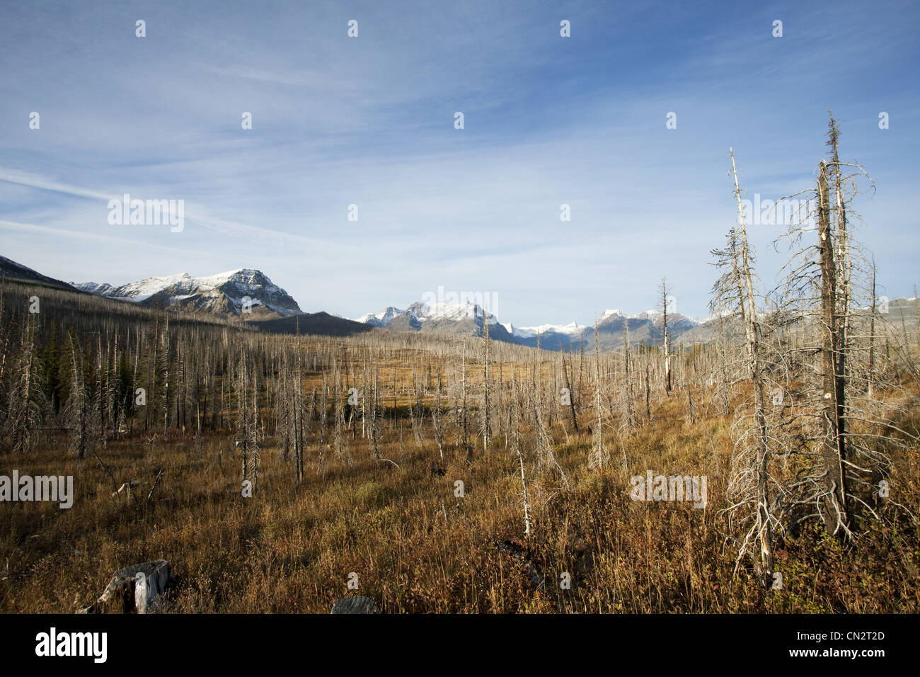 Dead Trees From Fire With Snow Covered Mountains in Background, Montana, USA - Stock Image