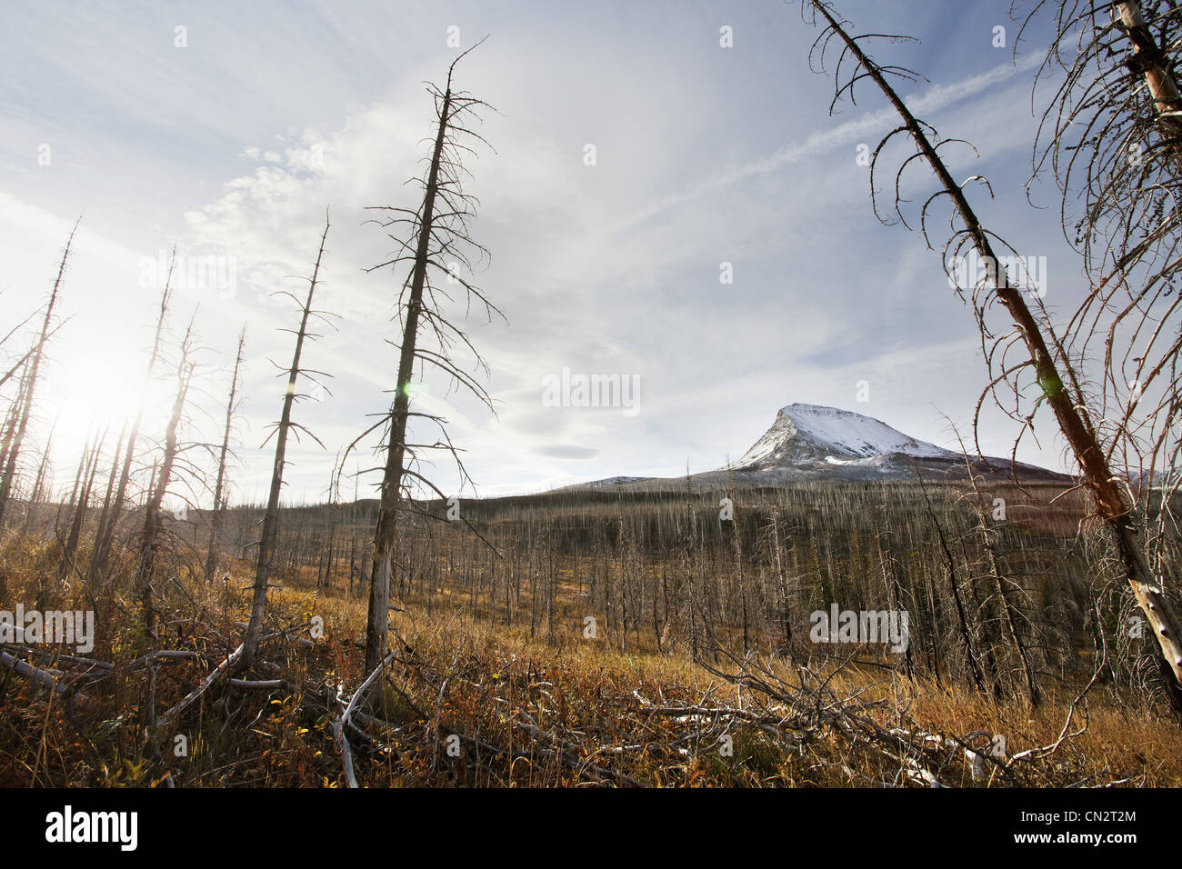 Dead Trees From Fire With Snow Covered Mountain in Background, Montana, USA - Stock Image