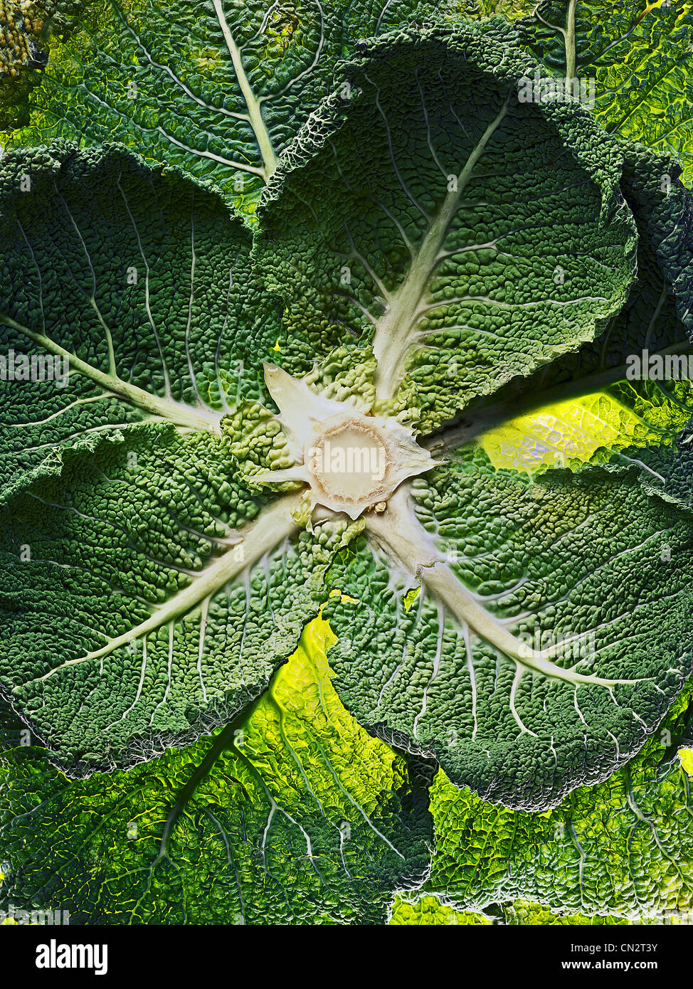 Savoy cabbage leaves - Stock Image