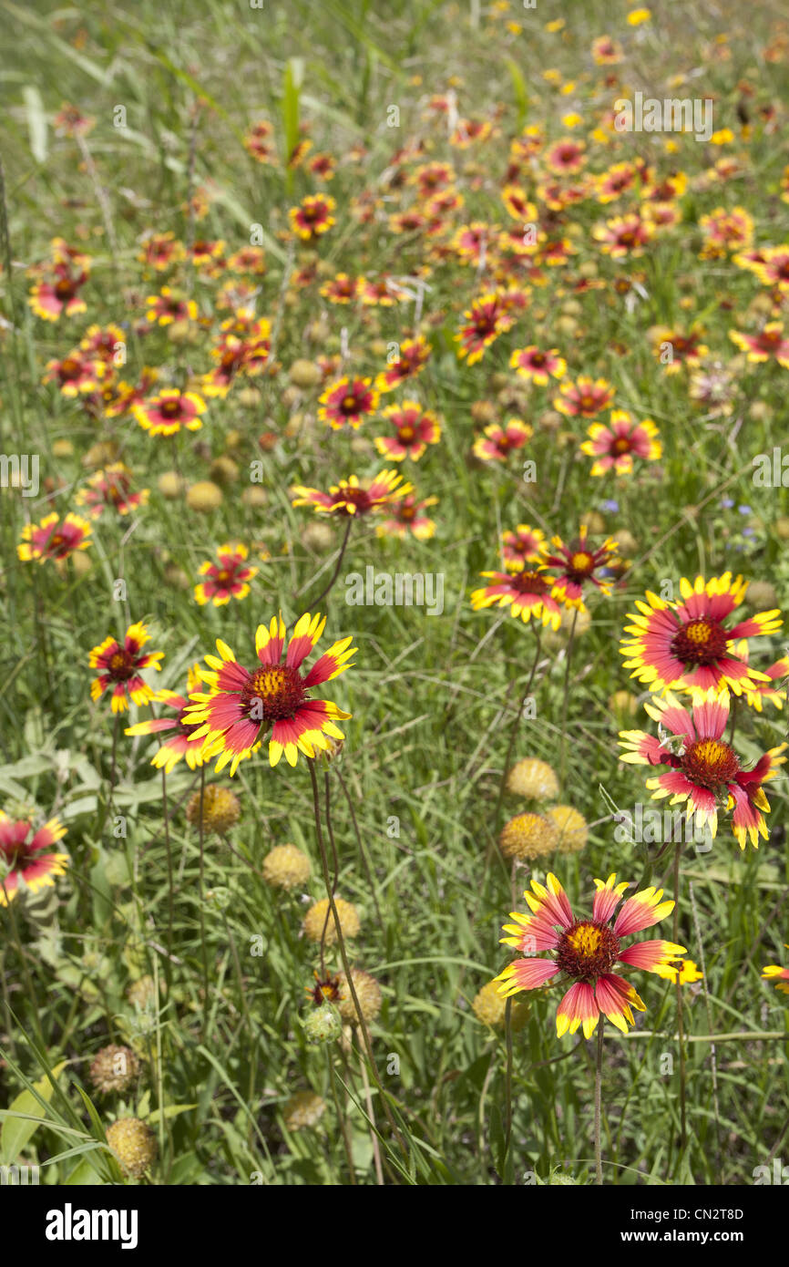 Red And Yellow Wildflowers In Tall Grass Texas Usa Stock Photo
