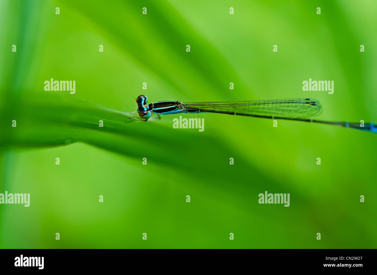 damselfly or little dragonfly in green nature - Stock Image