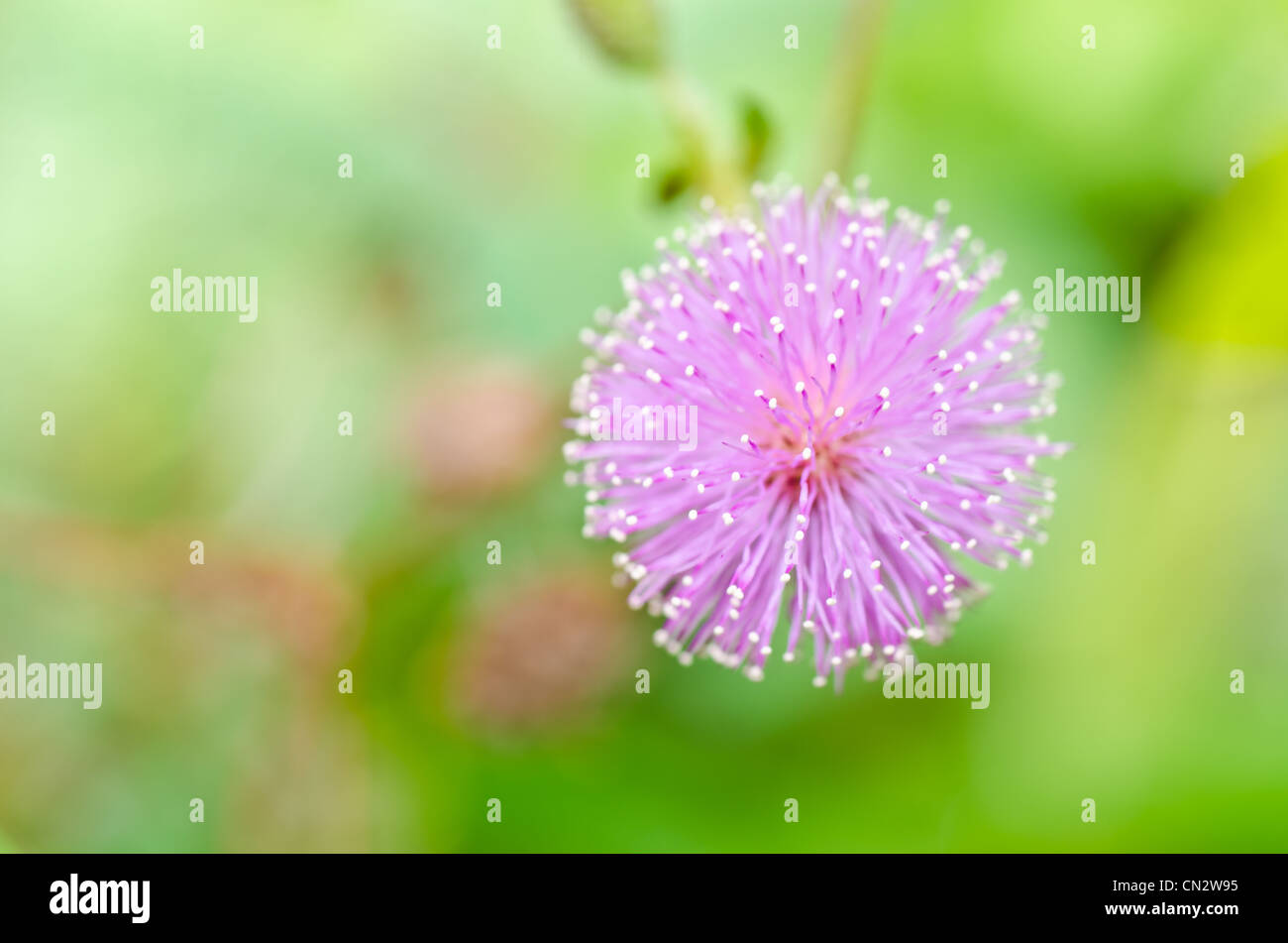 Sensitive plant - Mimosa pudica in green nature or in the garden - Stock Image