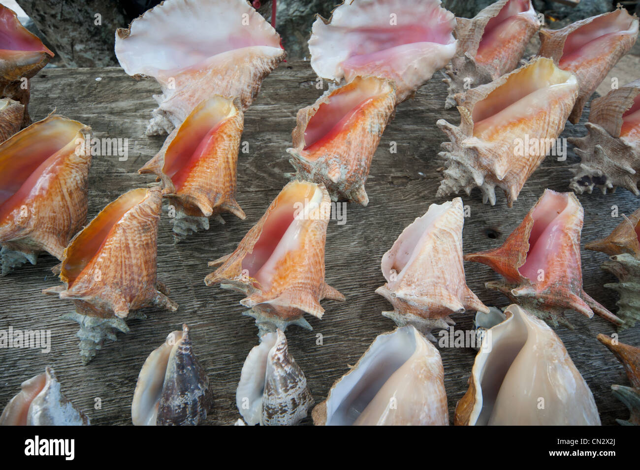 Conch shells - Stock Image