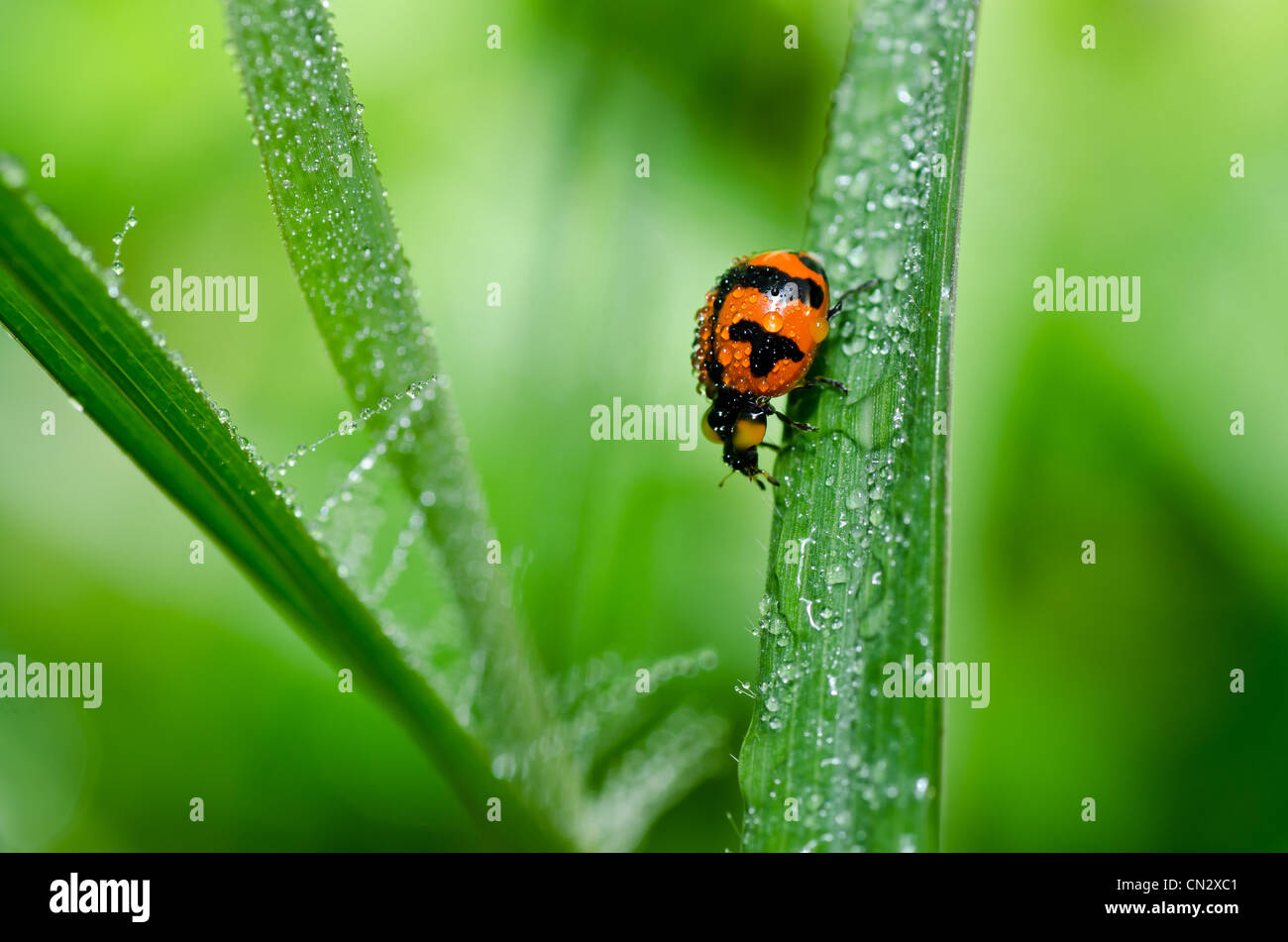 ladybug in the green nature or in the garden - Stock Image
