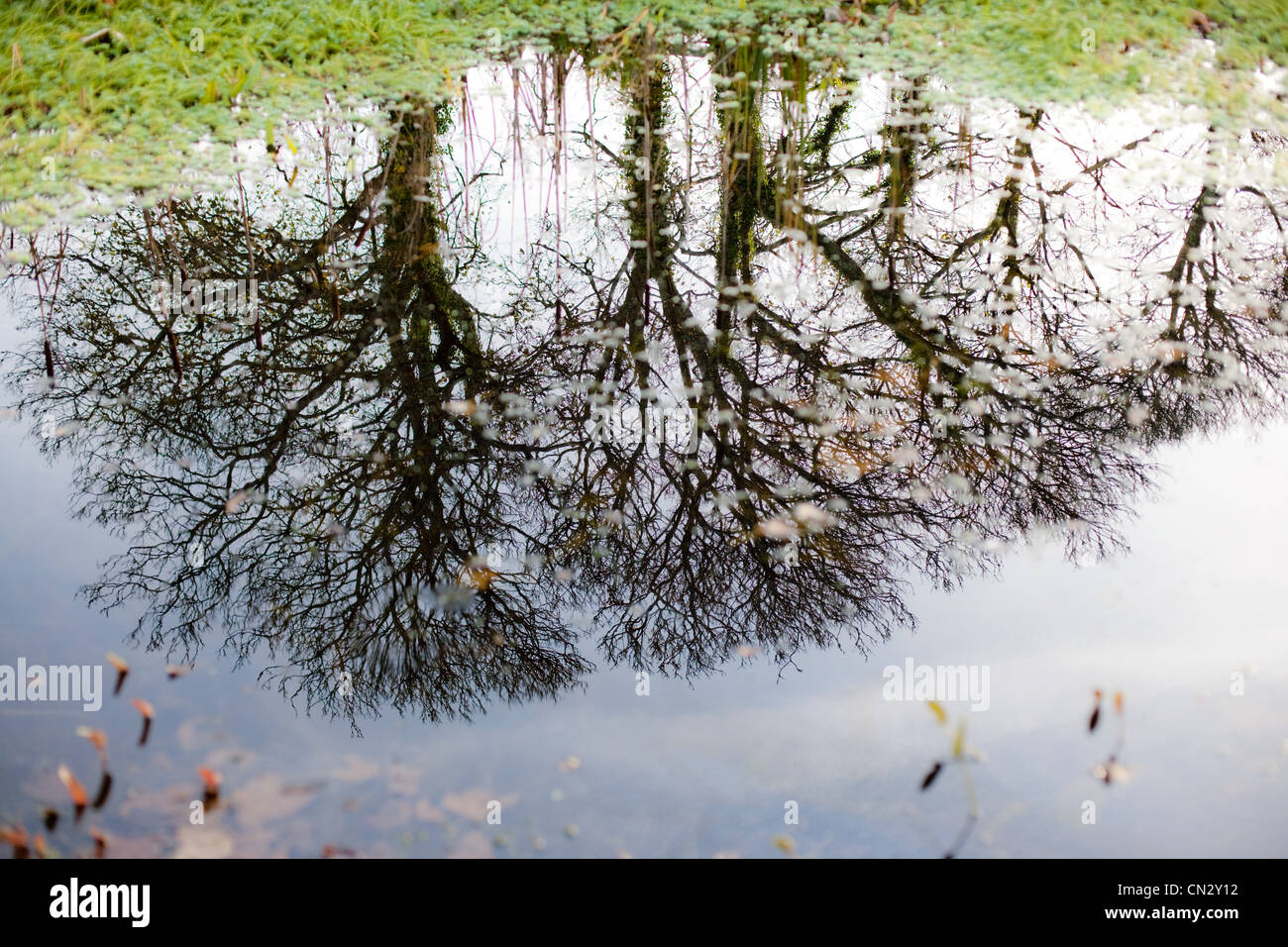 Trees reflected in puddle - Stock Image
