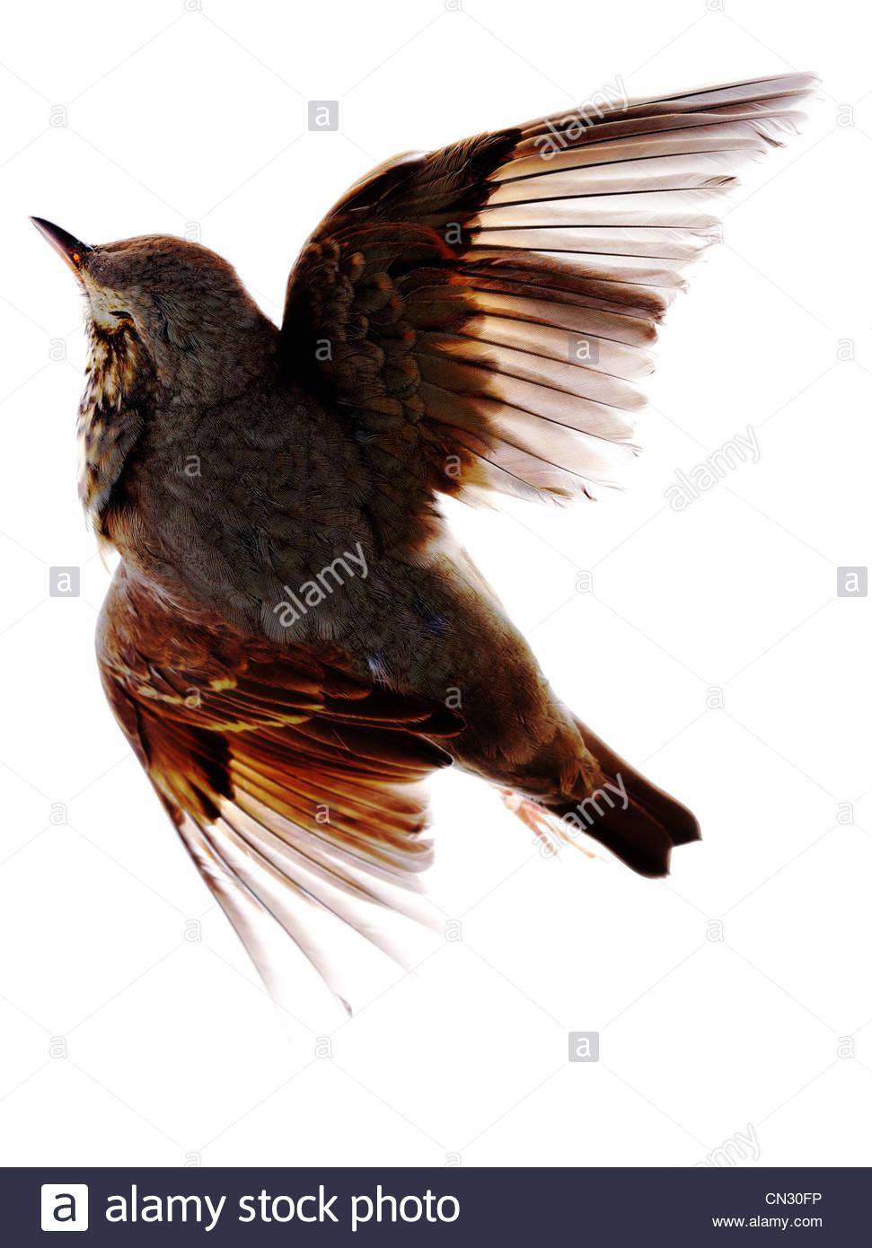 Bird Wing Anatomy Stock Photos & Bird Wing Anatomy Stock Images - Alamy