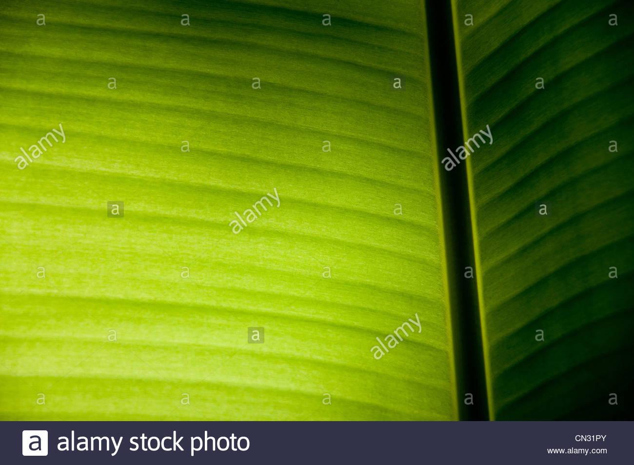 Banana Leaf on Light Effect - Stock Image