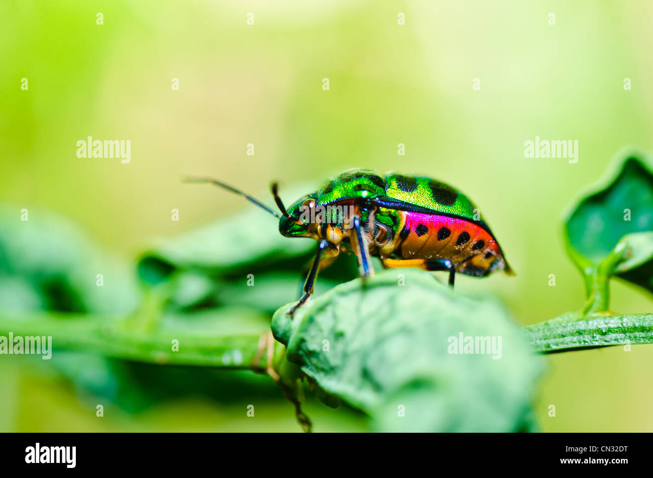 jewel beetle on leaf in green nature or in the garden - Stock Image