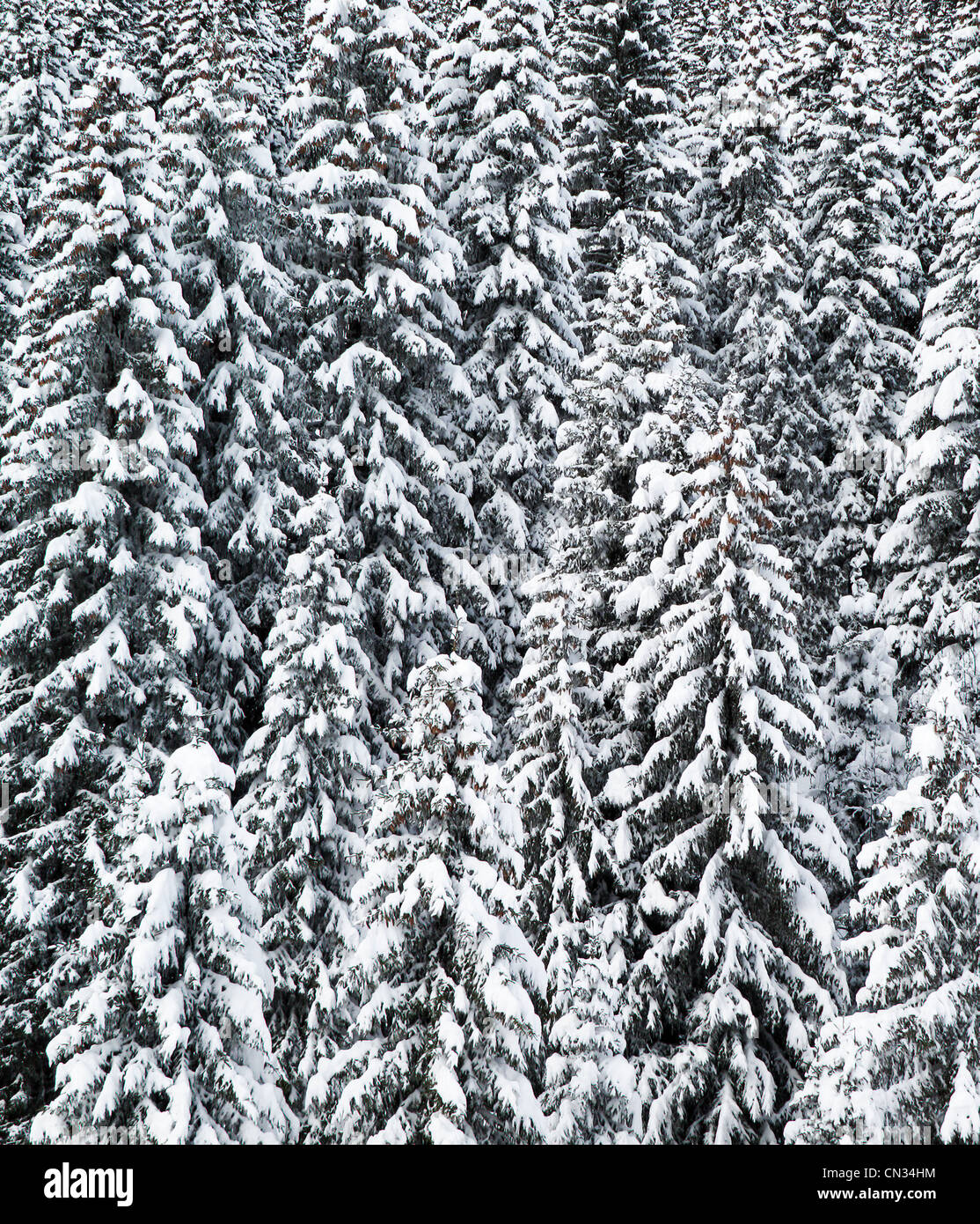Snow covered trees, Grand Massif, French Alps - Stock Image