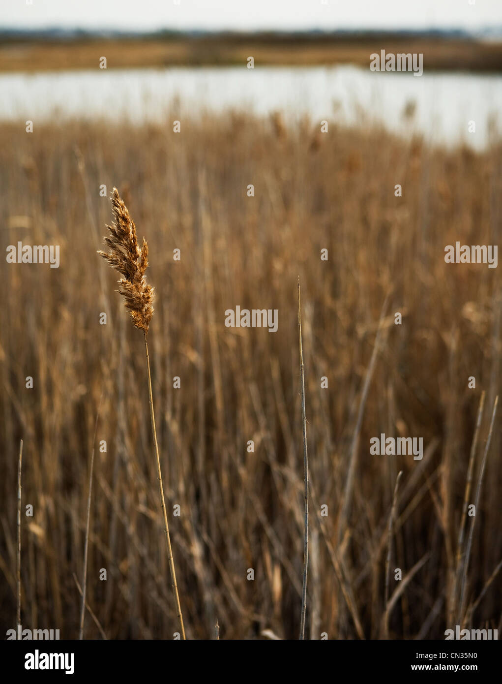 Dry grass, close up - Stock Image