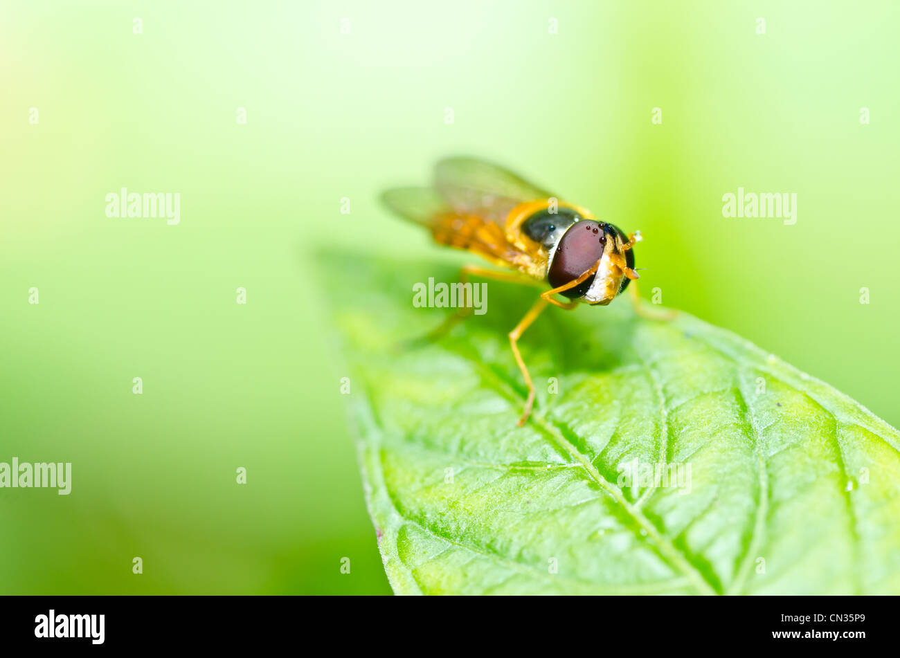 Fruit files or Flower files or hover files in green nature or in the garden - Stock Image