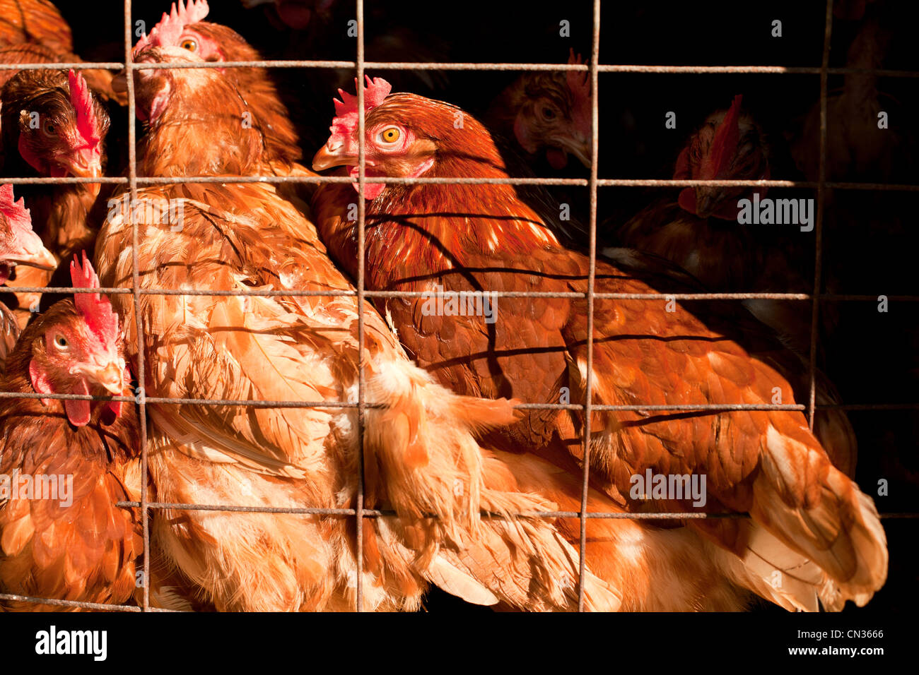 Hens - Stock Image