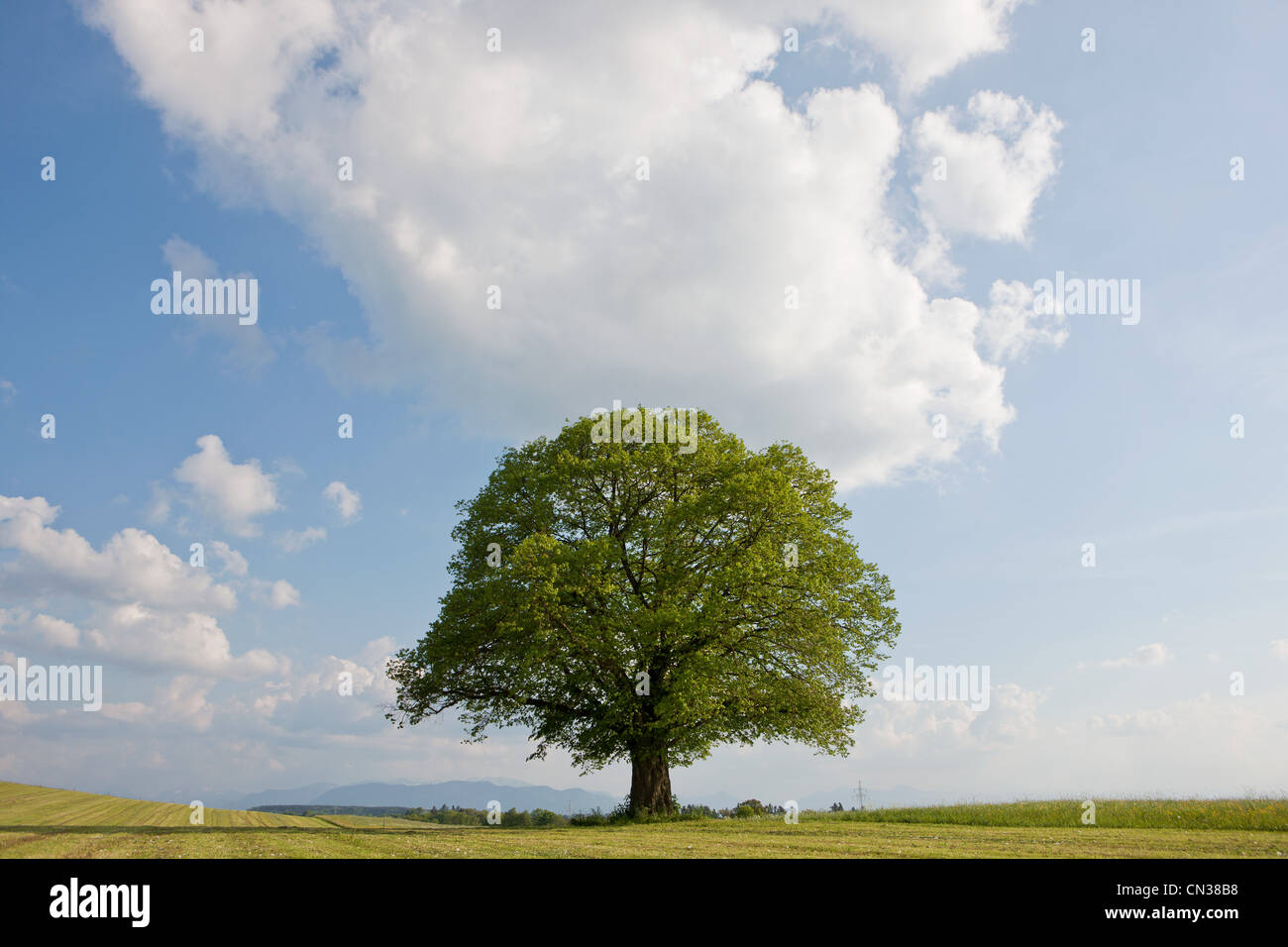 Single tree in field - Stock Image
