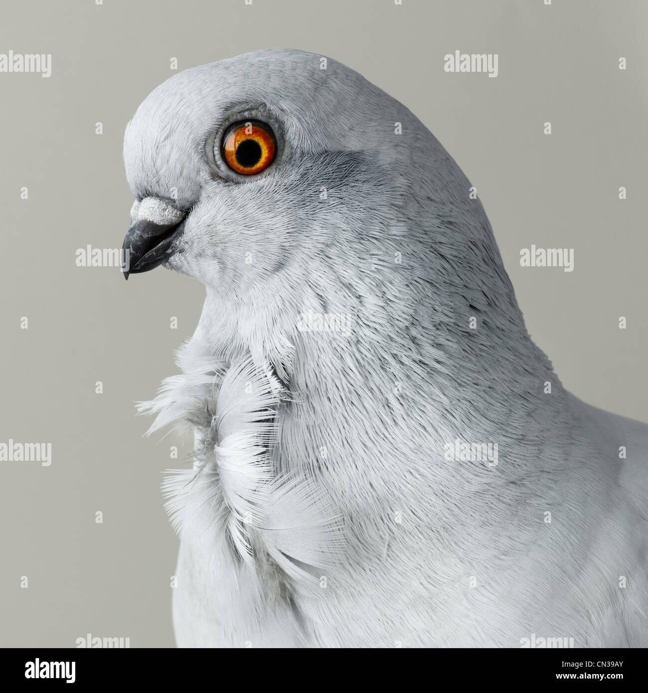 Grey pigeon - Stock Image