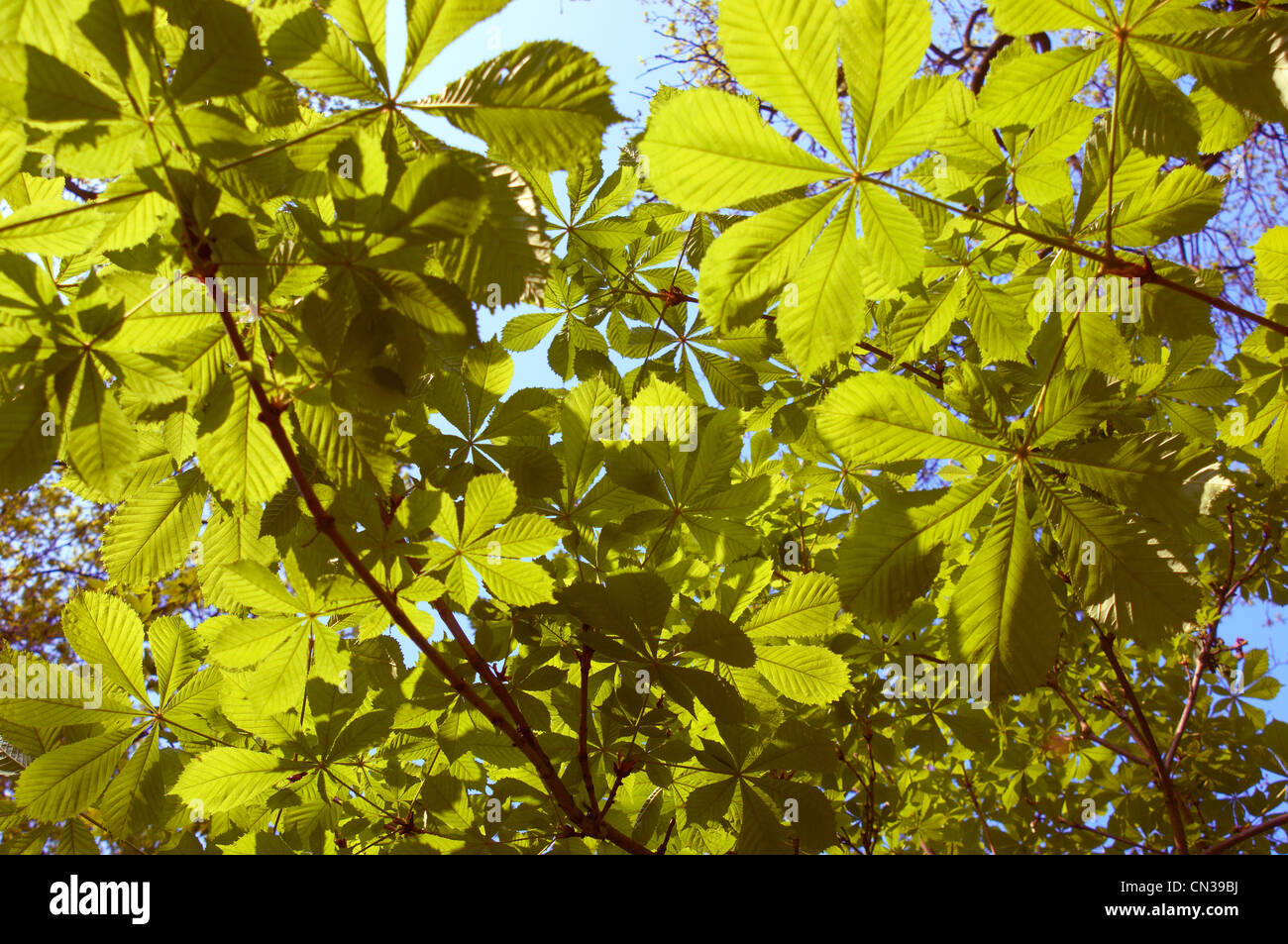 Sunlight through horse chestnut leaves - Stock Image