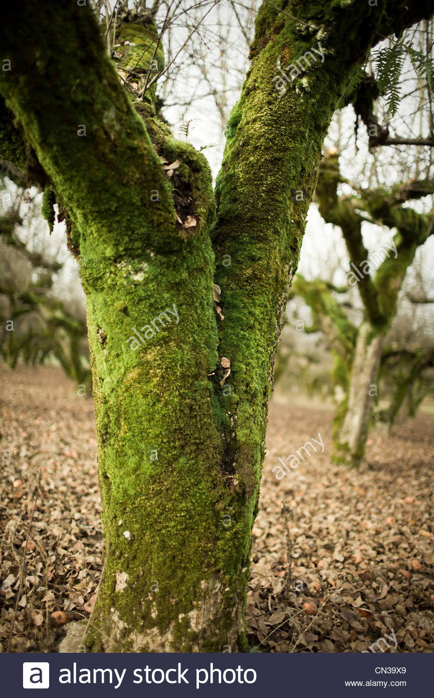 Green moss on tree - Stock Image