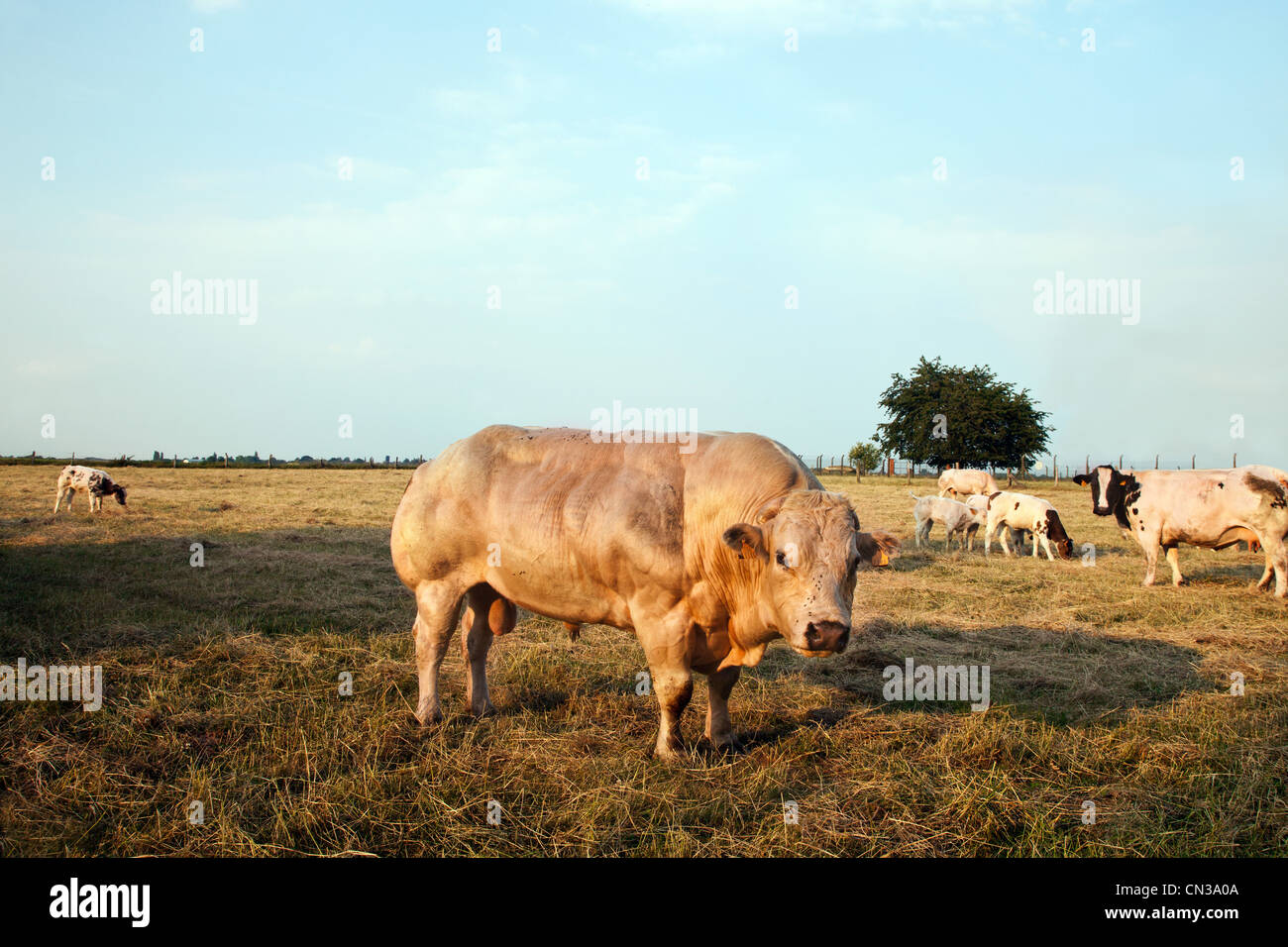 Bull in pasture - Stock Image