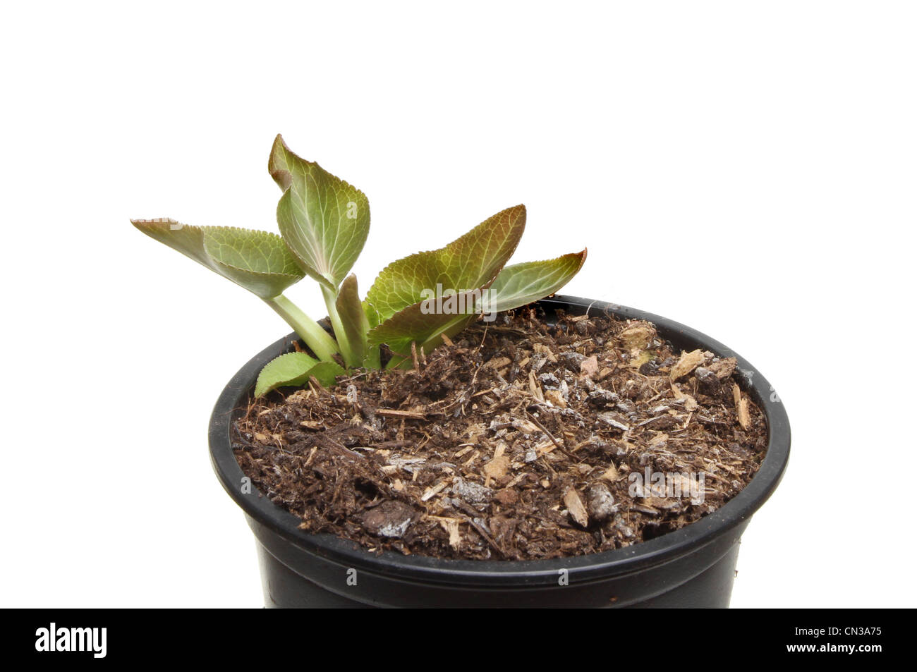 Closeup of an Eryngium plant seedling in a pot isolated against white - Stock Image