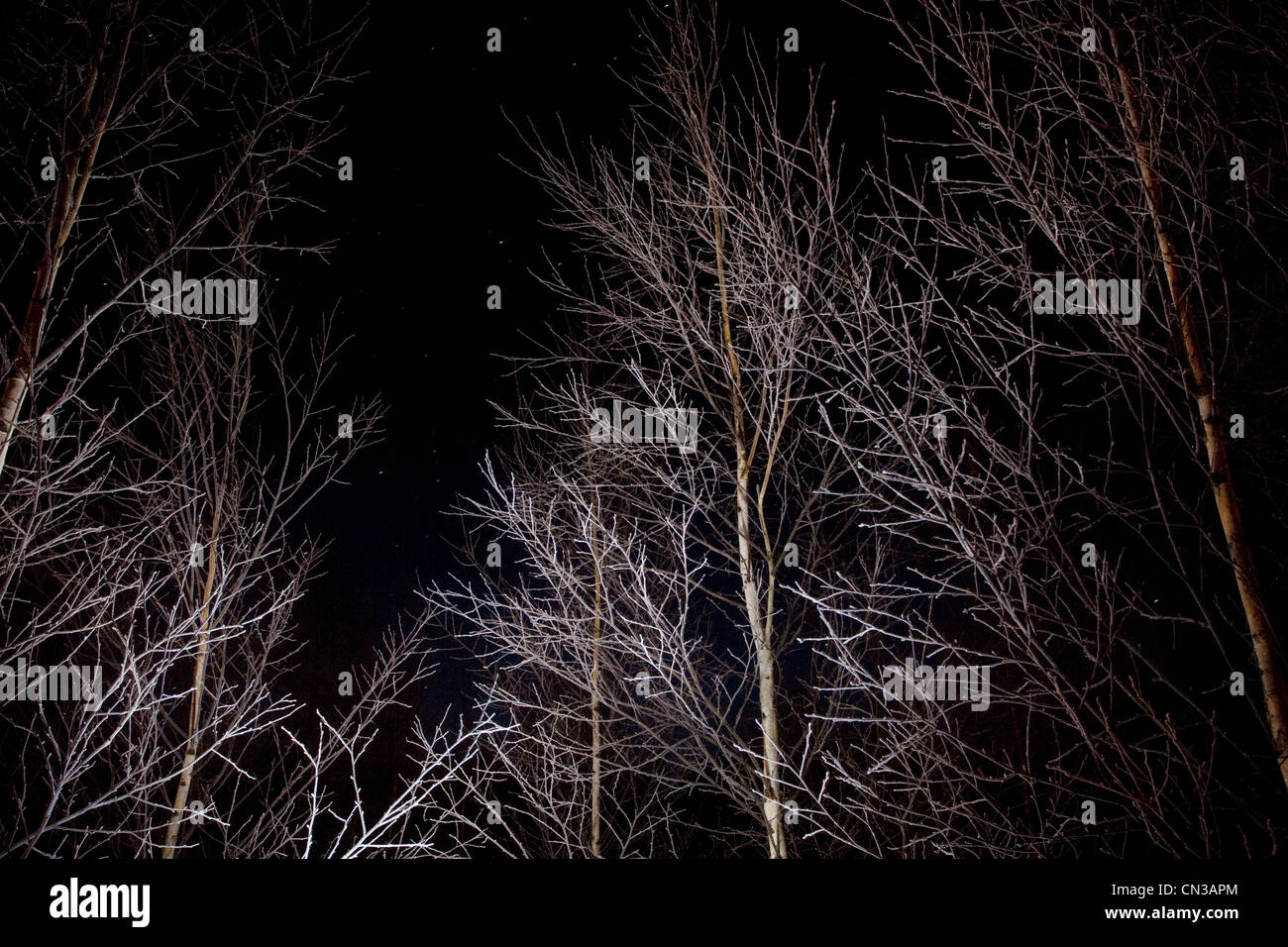 Bare trees at night, low angle - Stock Image