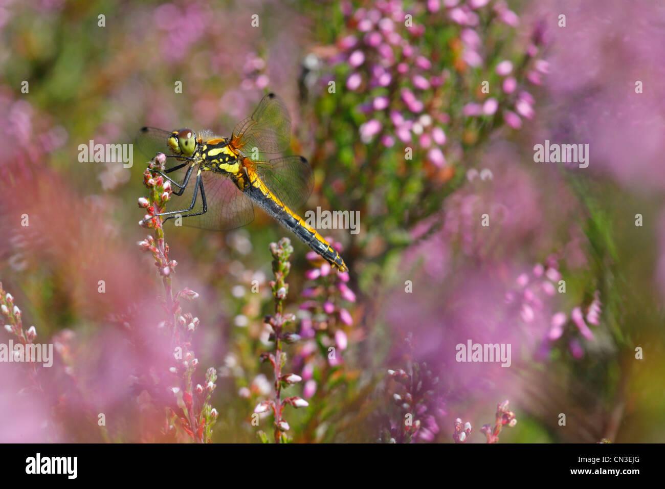 Black Darter Dragonfly (Sympetrum danae) on heather. Shropshire,, England. August. Stock Photo