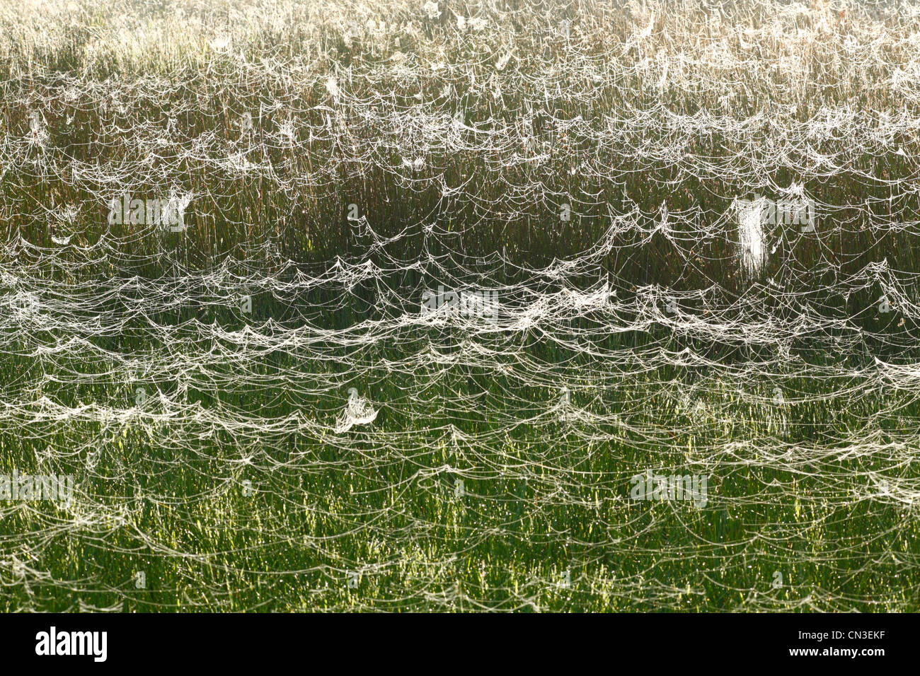 Spiders webs covering rushes on a dewy morning. Powys, Wales, September. - Stock Image