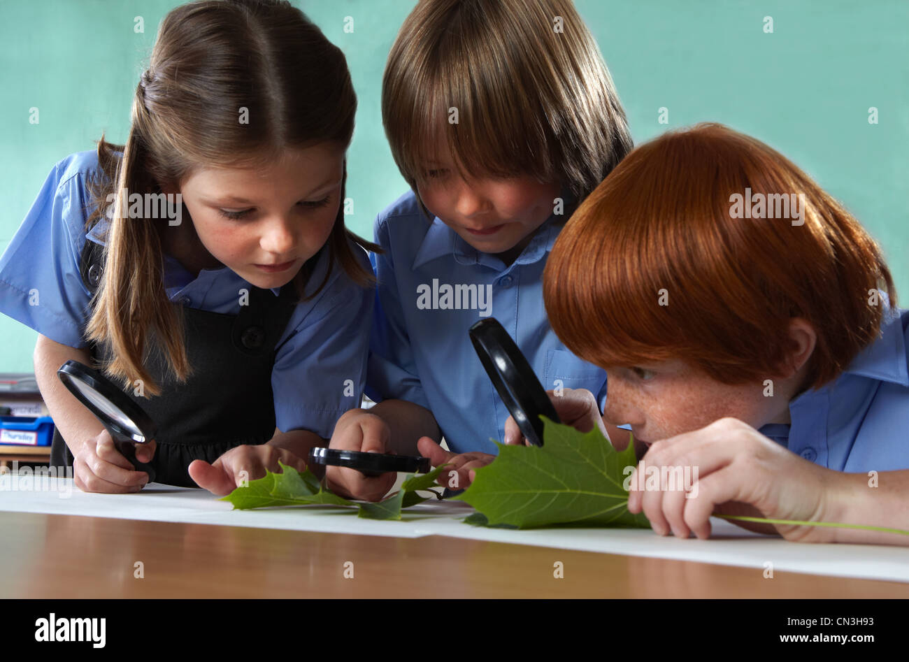 School children studying leaves with magnifying glasses in a classroom - Stock Image
