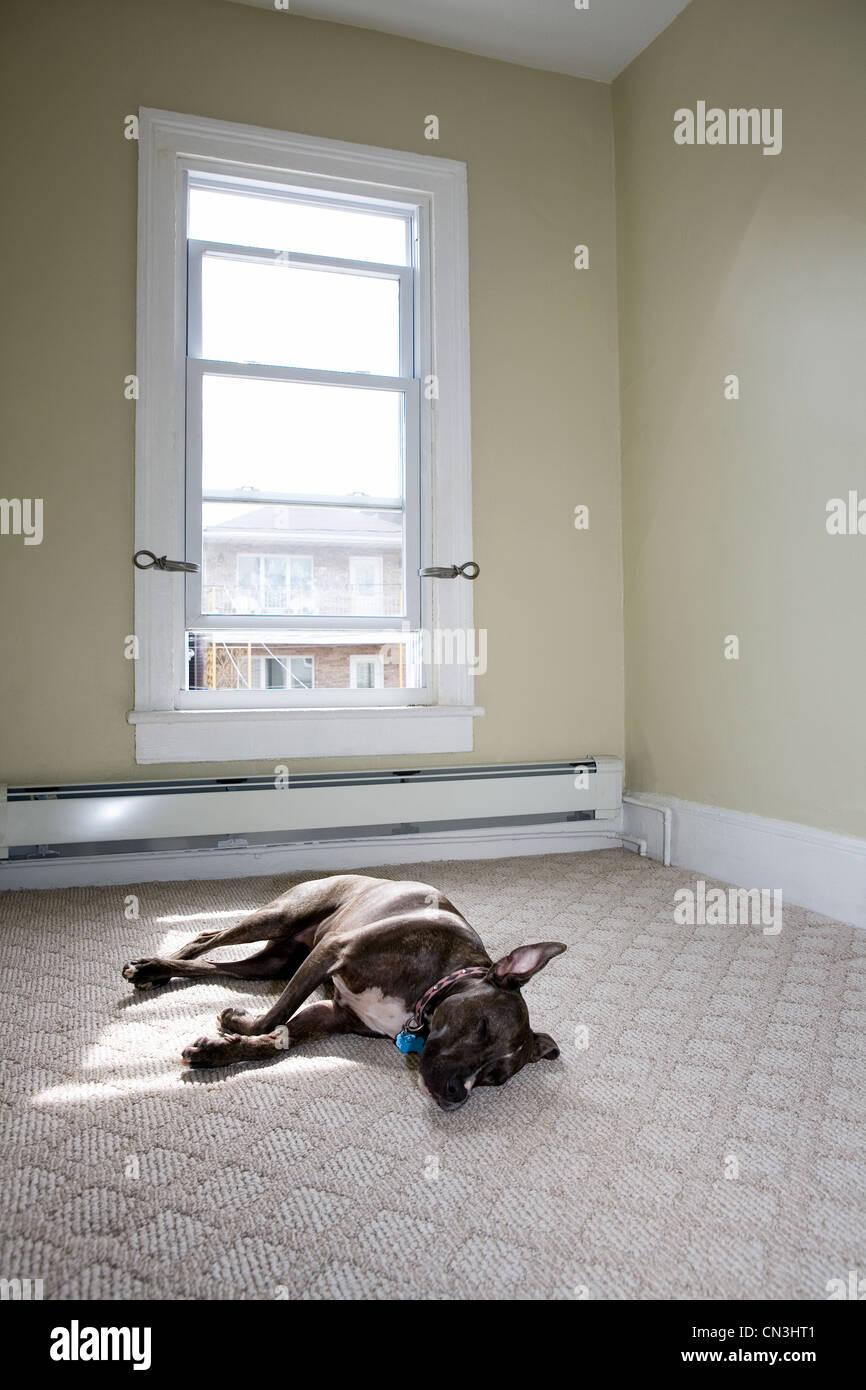 Female pit bull sleeping in sunlit room - Stock Image