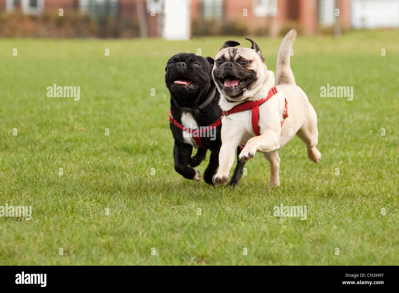 Pugs running - Stock Image