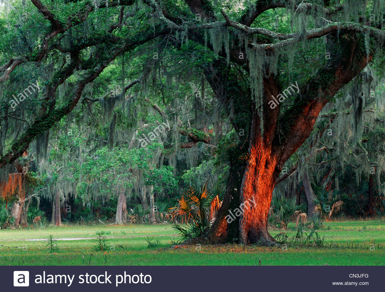 An oak tree stands grandly as moss hangs from its large branches, Georgia, USA. - Stock Image