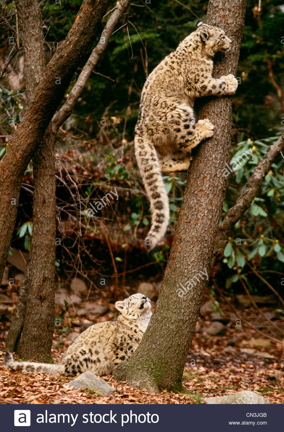 Six month old snow leopard cubs - Stock Image
