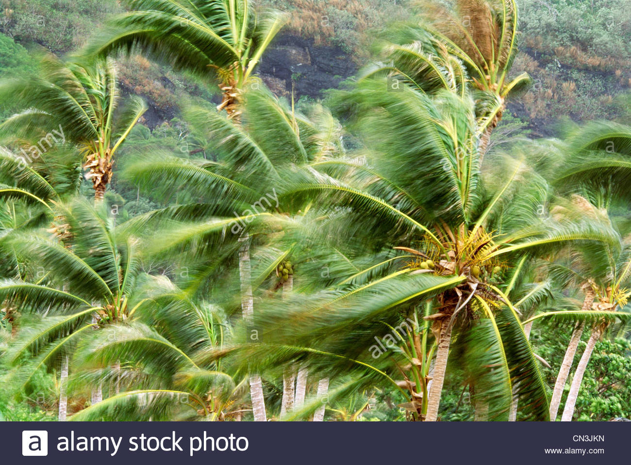 Palm trees in gale force wind, Bora Bora - Stock Image