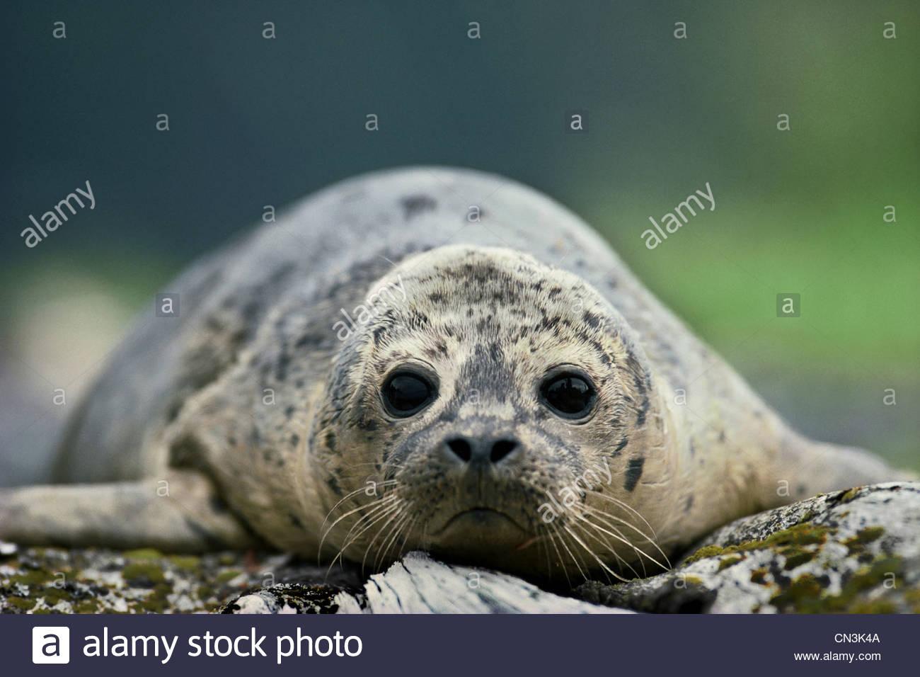 Harbor seal pup, Alaska - Stock Image