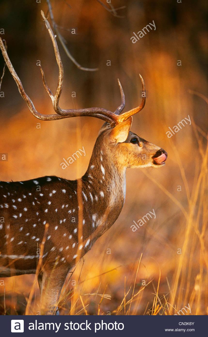 Axis deer or chital, Bandhavgarh National Park, India - Stock Image