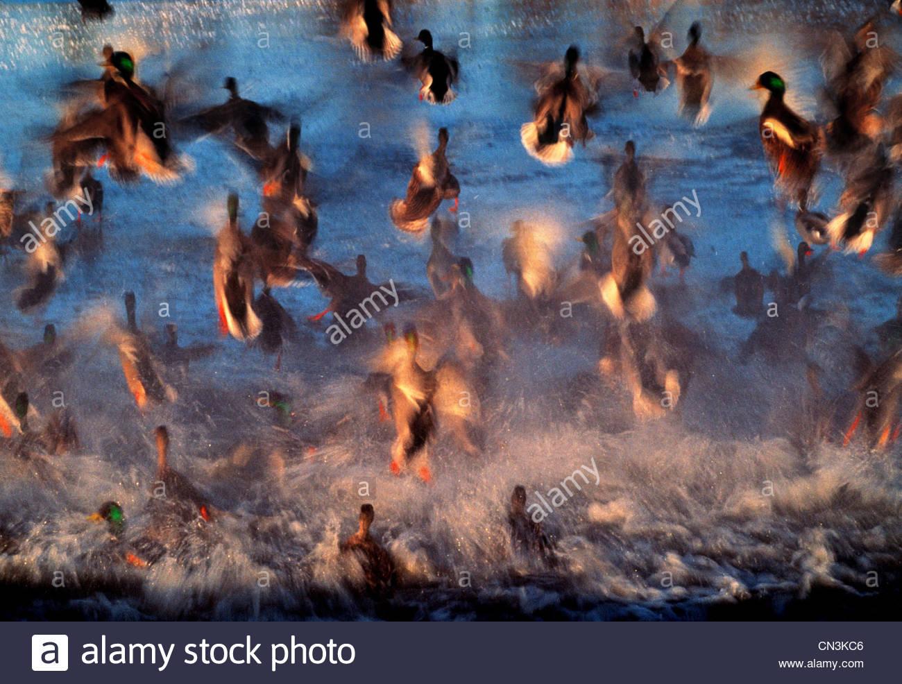 Mallard ducks, Fraser River Delta, British Columbia, Canada - Stock Image
